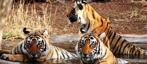 Wildlife And Forts Of Rajasthan tour package